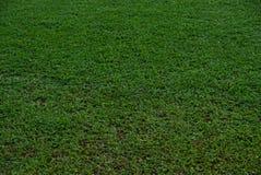 Естественный азиатский крупный план зеленой травы в утре стоковое фото