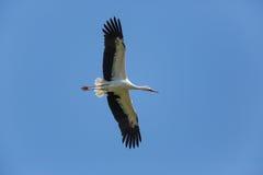 Естественный аист летая аиста белого аиста в голубом небе Стоковые Изображения