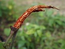 Естественный высушенный красный chili стоковые фото