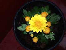 Естественный желтый цветок kapuru Шри-Ланка стоковые фото