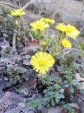 Естественный желтый цветок Spring& x27; цветене s первого стоковое фото