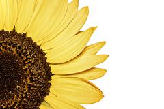 Естественный красочный солнцецвет на белой предпосылке изолировано Стоковая Фотография RF