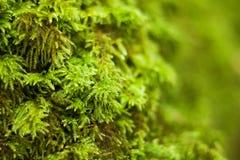 Естественный мох Стоковые Изображения