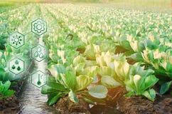 Естественный мочить земледелия Высокие технологии и нововведения в агро-индустрии Качество исследования почвы и урожая научно стоковые фотографии rf
