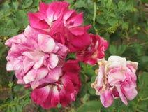 Естественный, мягко розовый и белая роза Стоковая Фотография RF