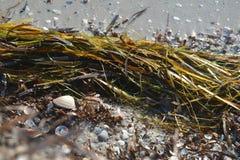 Естественный натюрморт раковин и морской водоросли на набережной стоковые фотографии rf