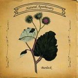 Естественный лопух Apothecary Иллюстрация штока