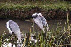 Естественный портрет бело--naped птицы крана от Китая Стоковое Фото