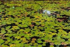 Естественный пруд лотоса Стоковая Фотография RF