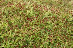 Естественный путь вырасти рис Стоковое Фото