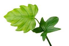 Естественный различный зеленый цвет дождевого леса джунглей выходит, филодендрон Стоковые Изображения