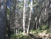 Естественный сосновый лес Стоковое фото RF