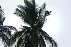 Естественный сценарный взгляд листьев кокосовой пальмы Стоковая Фотография RF