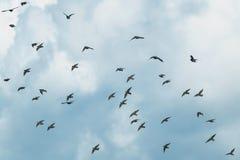 Естественный с большим стадом черных птиц проникая starlings f стоковое фото