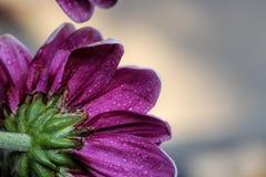 Естественный фиолетовый цветок цветеня приглашая в свете Стоковое Изображение RF