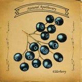 Естественный Elderberry Apothecary Бесплатная Иллюстрация
