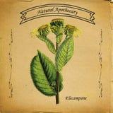 Естественный Elecampane Apothecary Бесплатная Иллюстрация