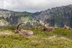 4 естественных высокогорных capricorns ibex сидя в луге Стоковая Фотография