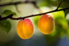 2 естественных зрелых абрикоса растут на ветви Стоковые Фотографии RF
