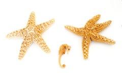 2 естественных морские звезды и морского конька Стоковое Фото