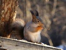 ест вал белки пущи nuts Стоковые Изображения RF