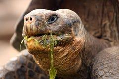 ест черепаху гиганта galapagos messily Стоковая Фотография RF