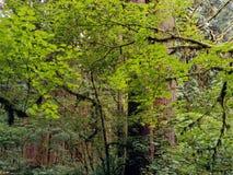 лес в ряде каскада, лес Стар-роста положения Rockport, Вашингтон Стоковые Изображения