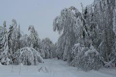 лес зимы Стоковые Изображения RF
