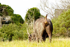 Если вы имеете плохой день тогда иметь a Африканский буйвол Syncerus c Стоковые Изображения RF