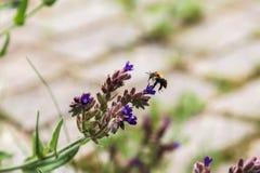 летание пчелы стоковые изображения