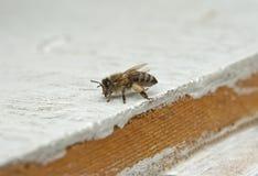 детализированный пчелой макрос изолированный медом штабелировал очень белизну Стоковое Изображение RF