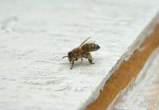 детализированный пчелой макрос изолированный медом штабелировал очень белизну Стоковое Изображение