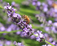 детализированный пчелой макрос изолированный медом штабелировал очень белизну Стоковые Изображения