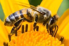 детализированный пчелой макрос изолированный медом штабелировал очень белизну Стоковые Фотографии RF