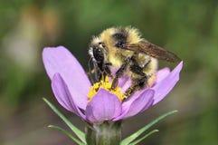 детализированный пчелой макрос изолированный медом штабелировал очень белизну Стоковое фото RF