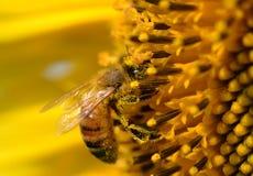 детализированный пчелой макрос изолированный медом штабелировал очень белизну Стоковые Изображения RF