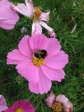 детализированный пчелой макрос изолированный медом штабелировал очень белизну Стоковые Фото