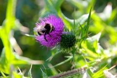 детализированный пчелой макрос изолированный медом штабелировал очень белизну стоковая фотография