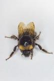 детализированный пчелой макрос изолированный медом штабелировал очень белизну Стоковая Фотография RF