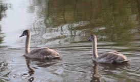 2 детеныша безгласных лебедя Стоковые Изображения RF