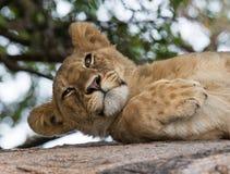 2 детеныша вала льва Национальный парк Кения Танзания masai mara serengeti Стоковое Фото