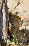 2 детеныша вала льва Национальный парк Кения Танзания masai mara serengeti Стоковое фото RF