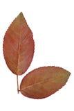 2 детеныша подняли листьями изолированными на белизне Стоковые Фото