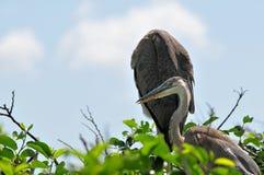 2 детеныша цапли больших сини в гнезде Стоковые Фотографии RF