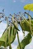 детеныши вала Канады ботаники бука Стоковое Фото