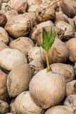 детеныши вала ростка кокоса Стоковое Фото