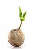 детеныши вала ростка кокоса Стоковое Изображение