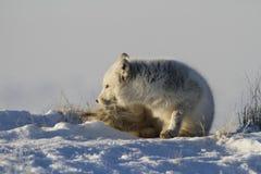 детеныши ледовитой лисицы Стоковая Фотография