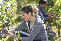 детеныши женщины жать виноградин Стоковое Фото