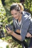 детеныши женщины жать виноградин Стоковые Фото